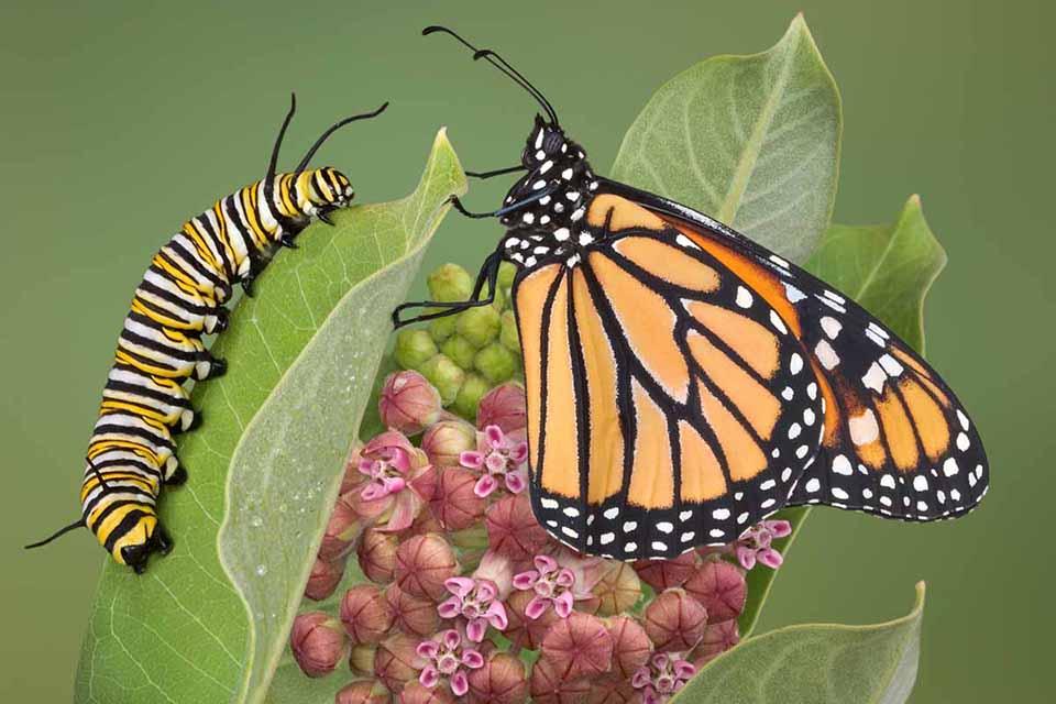 de la omidă la fluture